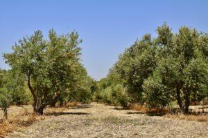 olive grove 2 comp