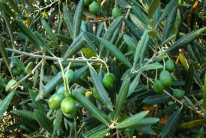 olives tree fruits comp